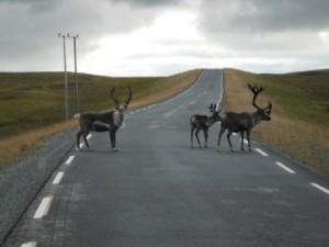 Des intrus curieux sur la route de Gjesvær